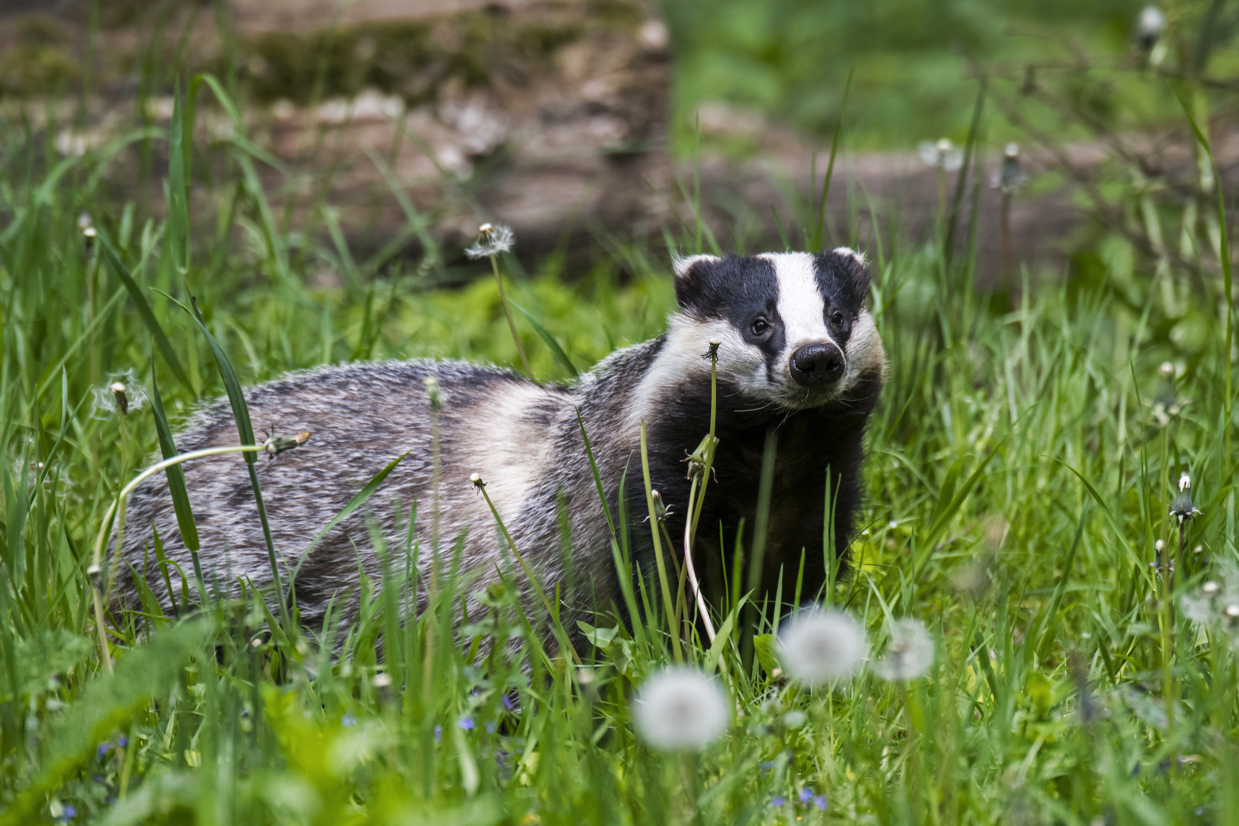 New Book Claims Trump Is Obsessed With Badgers